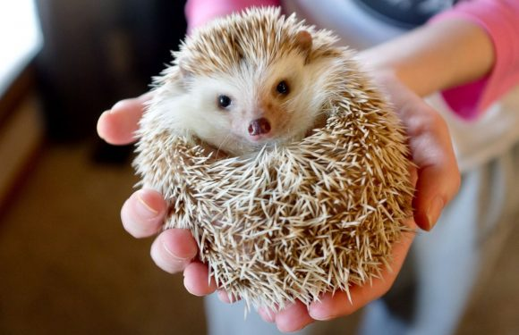 CDC Warns People Against Salmonella Illness Associated with Hedgehogs